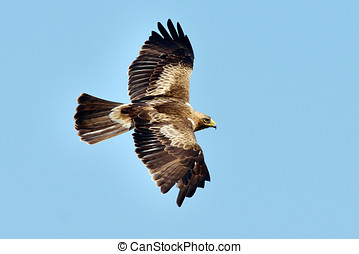 booted eagle outdoor - booted eagle flying (aquila pennata)