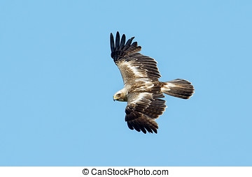 The booted eagle Aquila pennata flying