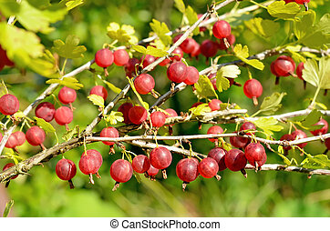 Gooseberries on branches - Red gooseberries on branches in...
