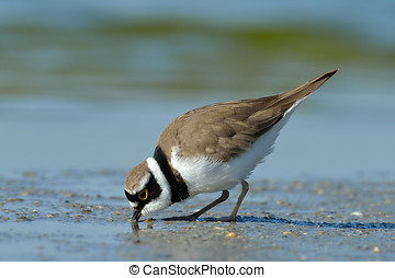 little ringed plover in natural habitat Charadrius dubius