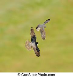 The Eurasian Hobby Falco subbuteo flying over field