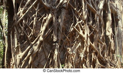 Root of banyan tree