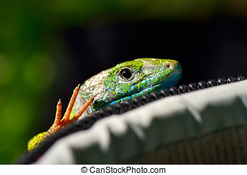 green lizard outdoor