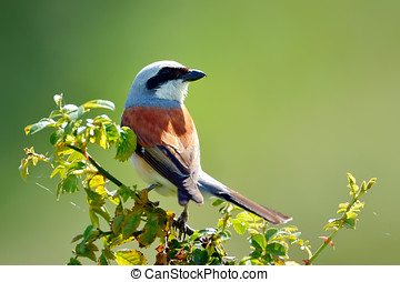red-backed shrike (Lanius Collurio) in natural habitat