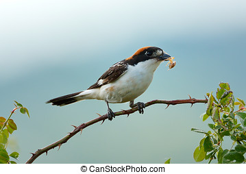The woodchat shrike Lanius senator perched on branch - The...