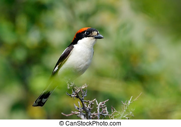 The woodchat shrike (Lanius senator) in natural habitat