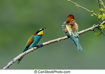 european bee-eater (Merops Apiaster) outdoor - european...