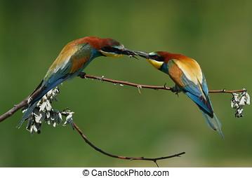 european bee-eater Merops Apiaster outdoor - european...