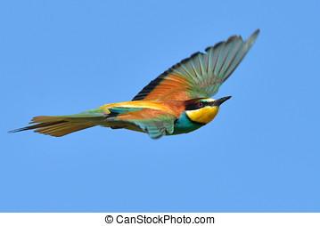 european bee-eater Merops Apiaster outdoor