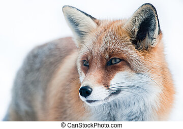red fox (lat. vulpes vulpes) in winter. Focus is on the eye.