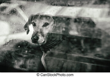Pet with Personality  - Dog looking outside a car window