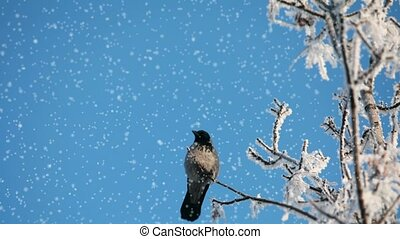 Crow on a snow-covered tree loop ready File