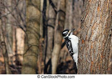 Hairy Woodpecker Female On Side Of Tree