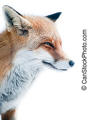 red fox (lat. vulpes vulpes) in winter.