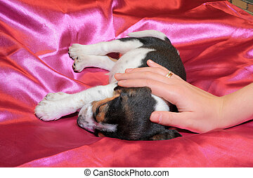 Tricolor beagle puppy sleeping - Cute tricolor beagle puppy...