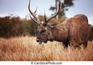 Deer on Sri Lanka
