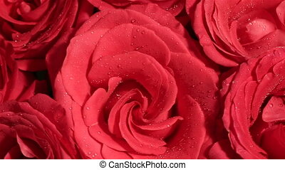 Beautiful bouquet of red roses is rotated.
