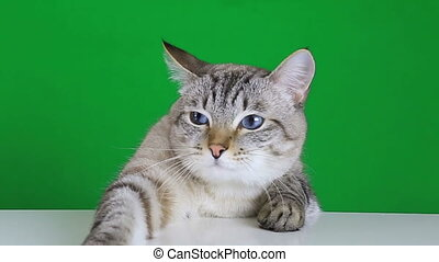 Sad cat sitting at the table on a green screen background