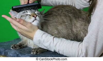 Combing hair cat after washing - Combing hair cat after...