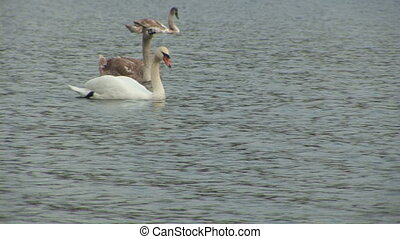 Swans in the city pond - HDV Video
