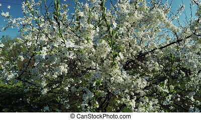 Flowering cherry on nature - Branch with cherry flowers on...