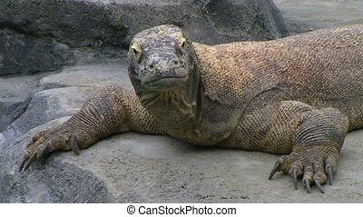 Komodo Dragon Looking Around - Komodo dragon looking around,...