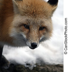 red fox - cute little red fox in the snow