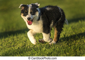 Cute Texas Heeler Puppy Running in the Park at Golden Hour -...