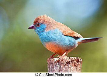 Closeup of a Blue Waxbill sitting on a pole in the sun