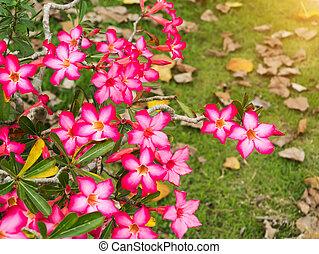 rosa, fiore, di, Adenium, obesum, (Desert, Rose;, impala,...