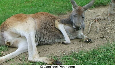 Kangaroo Laying Down And Sleeping - Male kangaroo laying...
