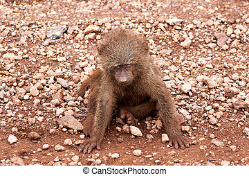 Sick baby baboon dying on the ground, Serengeti, Tanzania,...