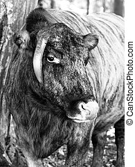 Zubron - hybrid of domestic cattle and european bison, or...