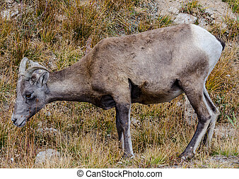 Sheep Profile on Mount Evans - A bighorn sheep grazing along...