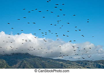 Flock of rook flying over La Palma, Canary Islands, Spain -...
