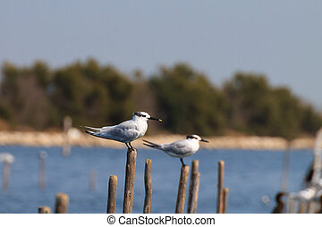 Bird from Po river lagoon - Birds from delta del Po Italian...