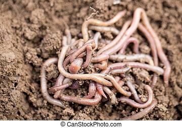 lombrices, en, soil., macro,