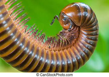 Millipedes have many legs A tropical insects