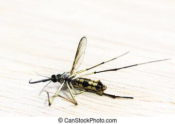 Morto, mosquito, ,