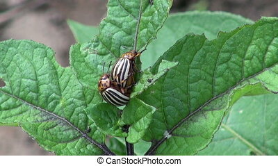copulating colorado potato beetles - Two copulating striped...