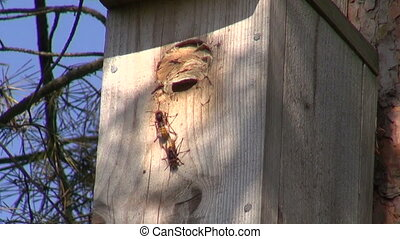 Wasp nest in bird nesting box - Common wasp nest in bird...