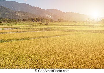 Sunbeam and the golden paddy farm in the rural
