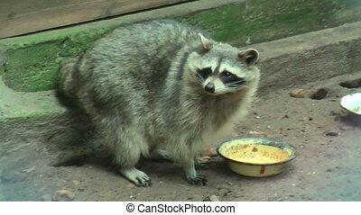 Raccoon licks a plate - Raccoon (Procyon lotor) licks a...