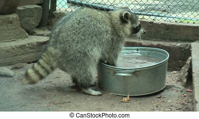Raccoon rinses food in a basin - Raccoon (Procyon lotor)...