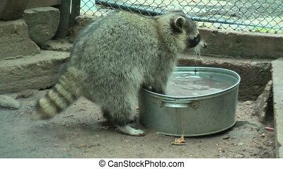 Raccoon rinses food in a basin - Raccoon (Procyon lotor)...