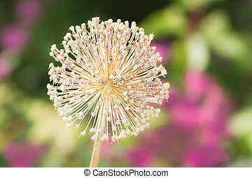 Faded giant onion flower - Macro of a faded giant onion...