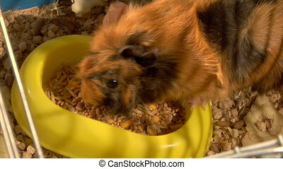 eating guinea pigs - two guinea pigs eat the grain
