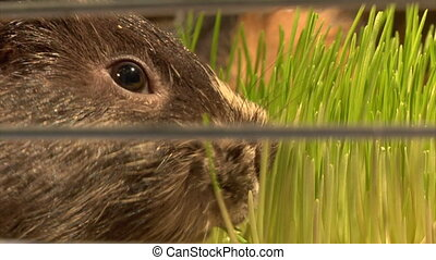 eating guinea pigs - two guinea pigs eat the grass