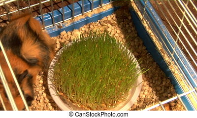 eating guinea pigs - two guinea pigs eat the grass time...