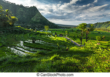 Rice field. Indonesia - Rice fields on the island of Bali,...